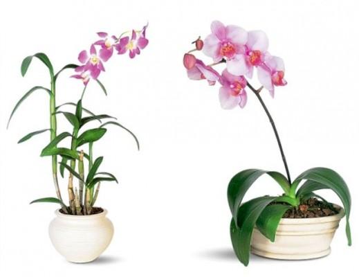 Kako se gaje orhideje